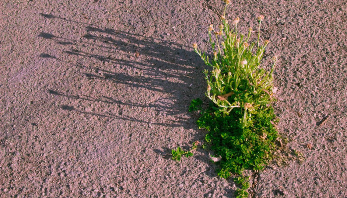 Grass growing and blooming through hard dry earth - by Flickr user Oren Zebest