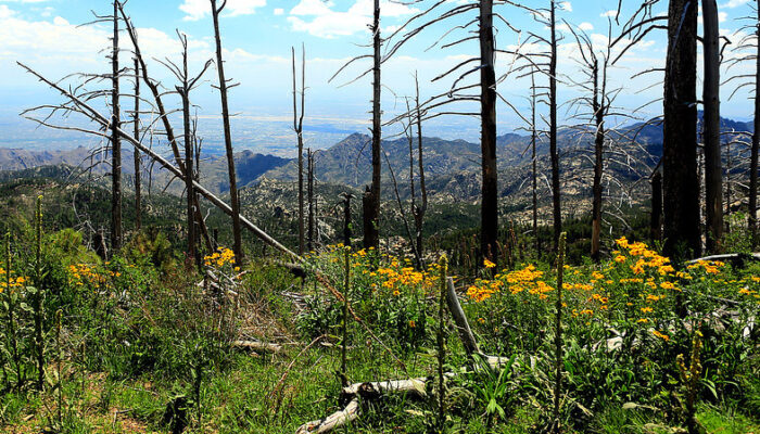 Yellow flowers bloom among fire-scarred trees, view of valley