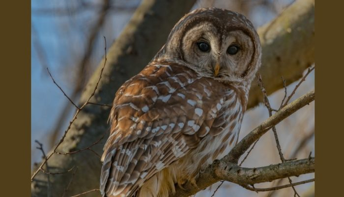 Brown owl stares into camera